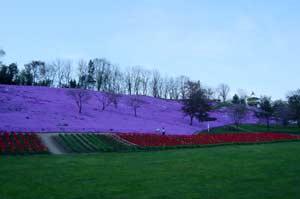 遠軽太陽の丘公園の芝桜