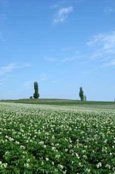 美瑛のジャガイモ畑と兄弟の木